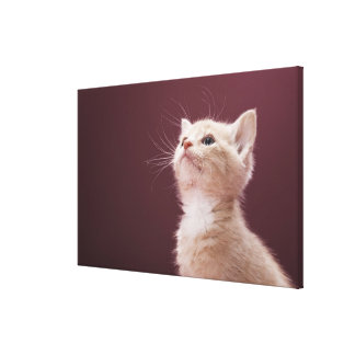 Kitten with Whiskers Stretched Canvas Print