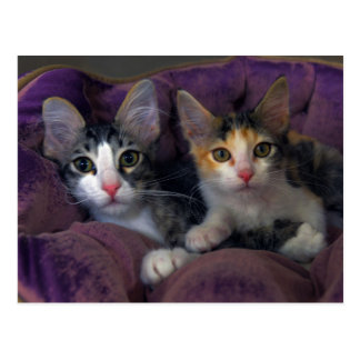Kittens in a Purple Bed Post Card