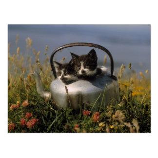 Kittens in an old kettle postcard