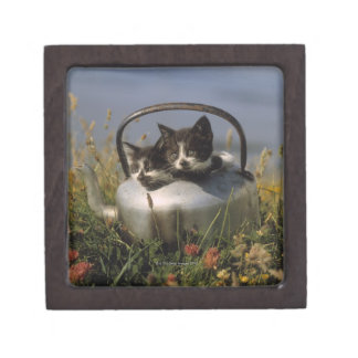 Kittens in an old kettle premium gift boxes