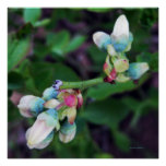 KIW Sparks: Blooming Blueberries Poster