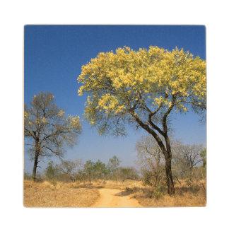 Knob Thorn Acacia, (Mimosoideae), Mala Mala Game Wood Coaster