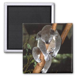 koala1 2 inch square magnet