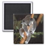 koala1 fridge magnet