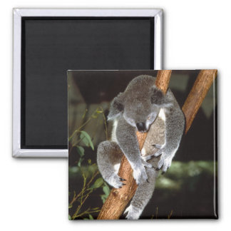 koala1 imán cuadrado