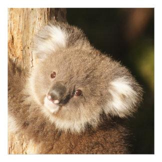 Koala_2015_0301 Photo Print