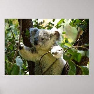 Koala asombroso linda del bebé en un árbol póster