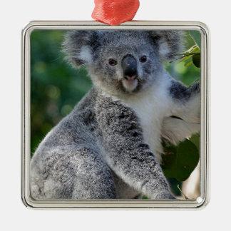 Koala australiana mimosa linda ornatos