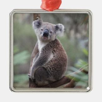 Koala Bear Safari Jungle Outback Congratulations Christmas Tree Ornaments