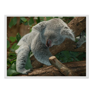 Koala Bear Sleeping Poster