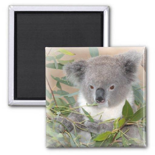 Koala Bear Square Magnet