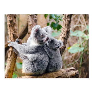 Koala Bears cute beautiful photo postcard