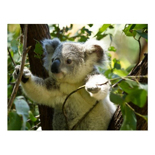 Koala cutie post card