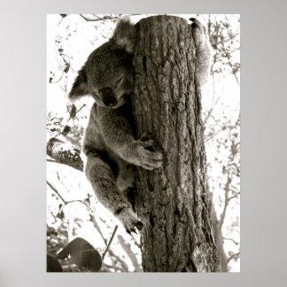 Koala en Sydney NSW Australia Impresiones