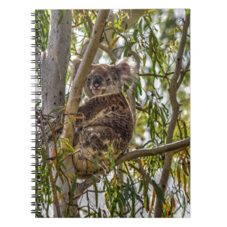 KOALA EN UN ÁRBOL QUEENSLAND RURAL AUSTRALIA LIBRETAS