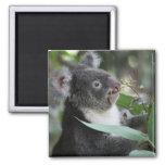 Koala Fridge Magnets