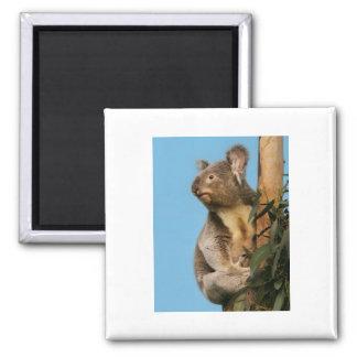 Koala in eucalyptus tree 2 inch square magnet