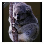 Koala in Tree Poster