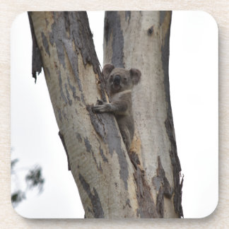 KOALA IN TREE QUEENSLAND AUSTRALIA COASTER