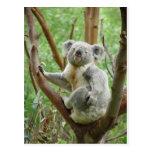 Koala linda tarjetas postales