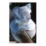 Koala mimosa tarjeta postal