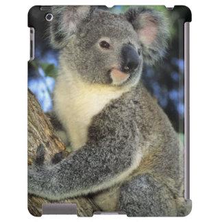 Koala, Phascolarctos cinereus), Australia,