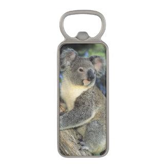 Koala, Phascolarctos cinereus), Australia, Magnetic Bottle Opener