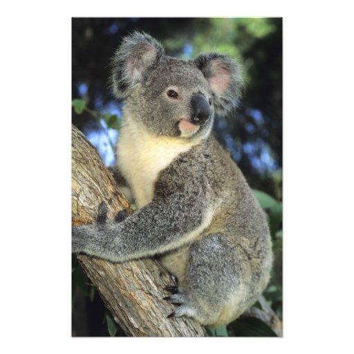 Koala, Phascolarctos cinereus), Australia, Art Photo
