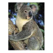 Koala, Phascolarctos cinereus), Australia, Postcard