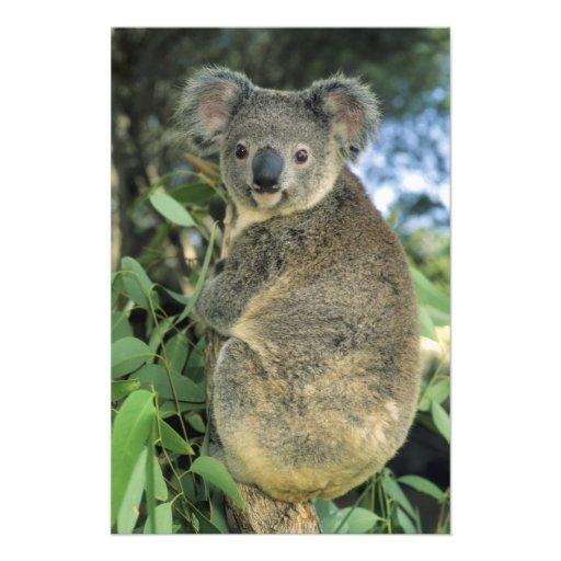 Koala, Phascolarctos cinereus), endangered, Photo