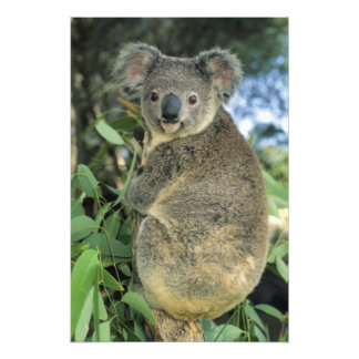 Koala, Phascolarctos cinereus), endangered, Photo Print
