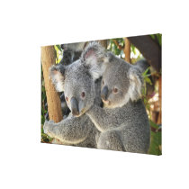 Koala Phascolarctos cinereus Queensland . Canvas Print
