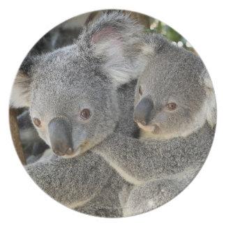 Koala Phascolarctos cinereus Queensland . Dinner Plate