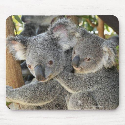 Koala Phascolarctos cinereus Queensland . Mouse Pad