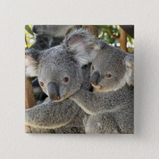 Koala Phascolarctos cinereus Queensland . Pinback Button