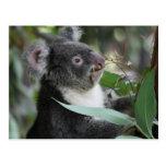 Koala Post Card