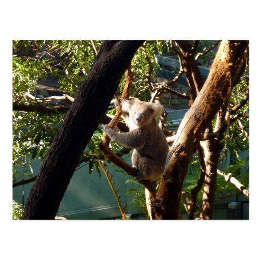koala postales