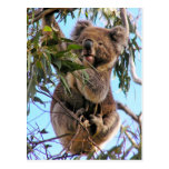 Koala Postcard Australia