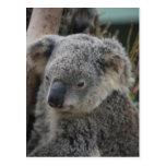Koala Postcards