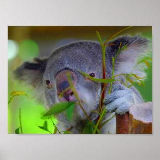 Koala que come la impresión posters