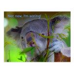 Koala que come la postal