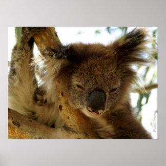 Koala salvaje que duerme en el eucalipto, hasta póster