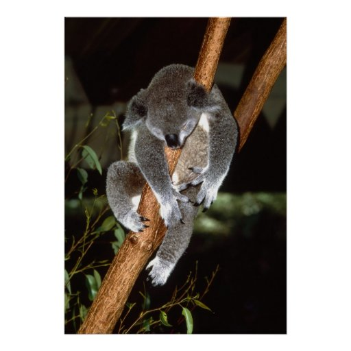 Koala soñolienta impresiones