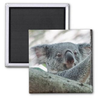 Koala Square Magnet