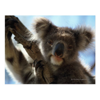 koala tarjeta postal
