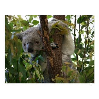 Koala Tarjetas Postales