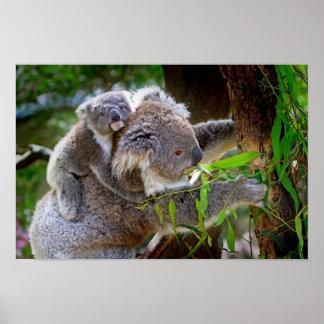 Koalas de la mamá y del bebé póster
