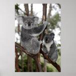 Koalas en los árboles póster