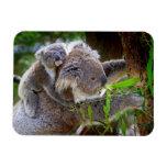 Koalas lindas imán de vinilo