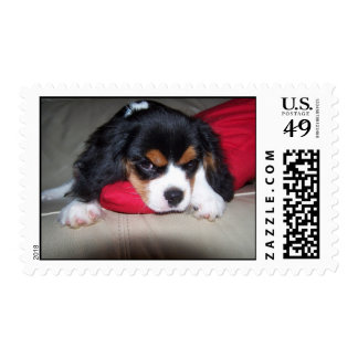 Koda the cheeky Cavalier Spaniel Postage